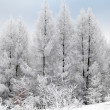 Frost on the tree — Stock Photo