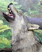 Real stuffed wolf — Stock Photo