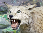 Real stuffed lynx — Stock Photo