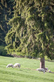 Sheep on pasture — Stock Photo