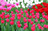 Keukenhof - Garden of Europe, Netherlands — Stock Photo