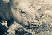 Bílé nosorožce v zoo bratislava, Slovensko — Stock fotografie