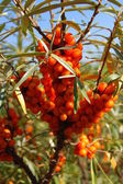 Seabuckthorn — Stock Photo