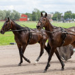 Stok fotoğraf: Horses on warm up