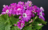 Cineraria — Stock Photo