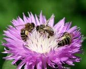 Three bees on flower — Stock fotografie