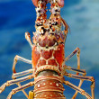 Stock Photo: Lobster XXL