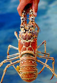 Lobster XXL — Stock Photo