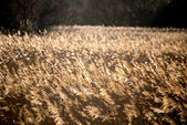 Corn field in twilight — Stock Photo