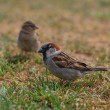 Stock Photo: Pair of house sparrow