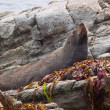 New zealand fur seal lying on a rock — Stock Photo