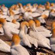 Stock Photo: Gannet colony
