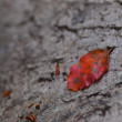 Red autumn leaf — Stock fotografie