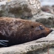 Sea lion sleeping — Stock Photo