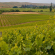 View of vineyard countryside — Stock Photo