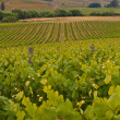 Stock Photo: Vineyard overview