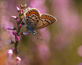 Beautiful butterfly on heath — Stock Photo