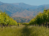 Vineyard hills — Stock Photo