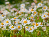 A field of daisy — Stock Photo