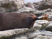 Fur seal sleeping upside down — Stock Photo