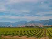 New zealand vineyard blue hills — Stock Photo