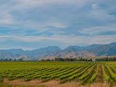 New zealand vineyard blue hills — Stock Photo
