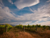 New zealand vineyard drama — Stock Photo