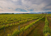 New zealand vineyard overview — Stock Photo