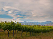New zealand vineyard sideview — Stock Photo