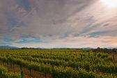 New zealand vineyard sun — Stock Photo