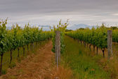 Rows in a vineyard — Stock Photo