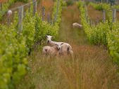 Sheep in organic vineyard — Stock Photo