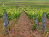View of organic vineyard — Stock Photo