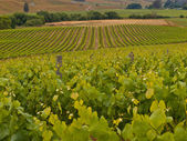 Vineyard overview — Stock Photo