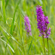 Wild marsh orchids between grass - Stock Photo