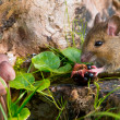 Autemn scene mouse eating raspberry — Photo #14702555