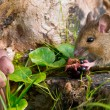 Autemn scene mouse eating raspberry — Foto Stock #14702555