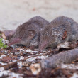 Greater white-toothed shrew (Crocidurrussula) — Stock Photo #14702761