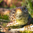 Stock Photo: Sand lizard portrait frontal