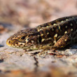 Sand lizard portrait side close up — Stock Photo