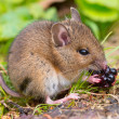 Wild mouse eating raspberry on log sideview — Stock Photo