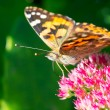 Painted lady (Vanessa cardui) sitting on sedum in the sun — Stock Photo
