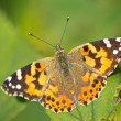 Stock Photo: Painted lady (Vanesscardui) sitting on leaf