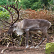 Stock Photo: Male reindeer with large antlers in natural habitat