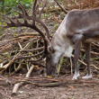 Close up of male reindeer in natural habitat — Foto Stock #14706069