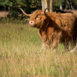 Highland cattle emerging from the forest — Stock Photo