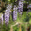Wisteria on pergola - Stock Photo