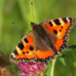 Small Tortoiseshell resting — Stock Photo