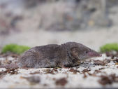 Greater white-toothed shrew (Crocidura russula) — Foto de Stock