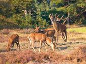 Male red deer (Cervus elaphus) is shouting — Stock Photo